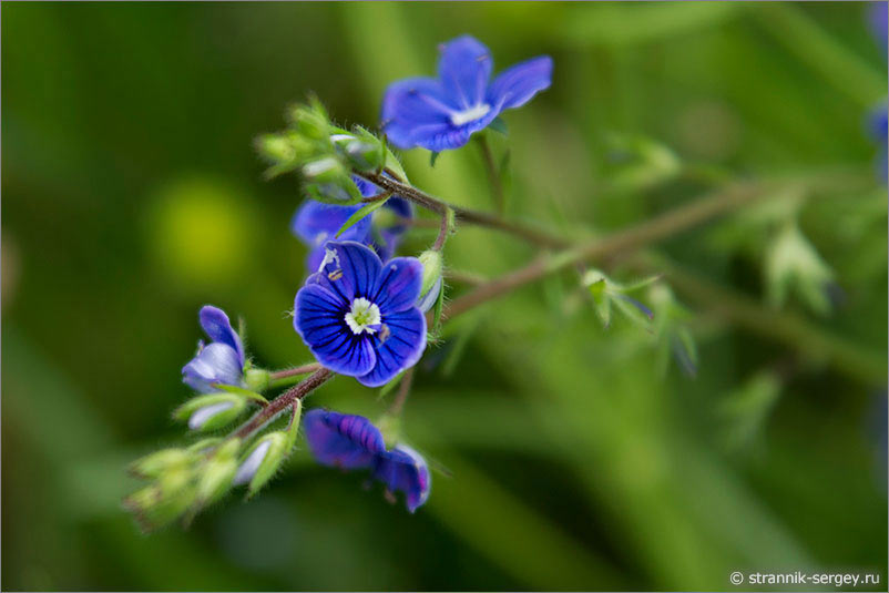 полевые цветы картинки и названия: