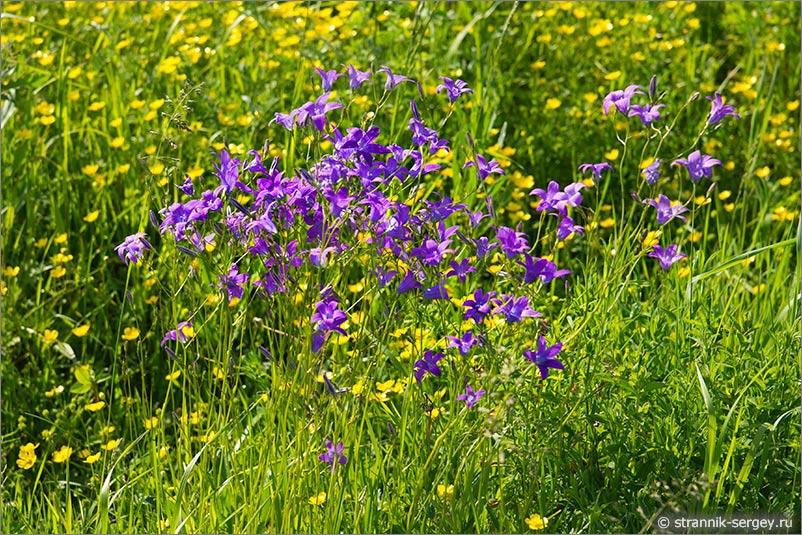 Полевые цветы подмосковья фото