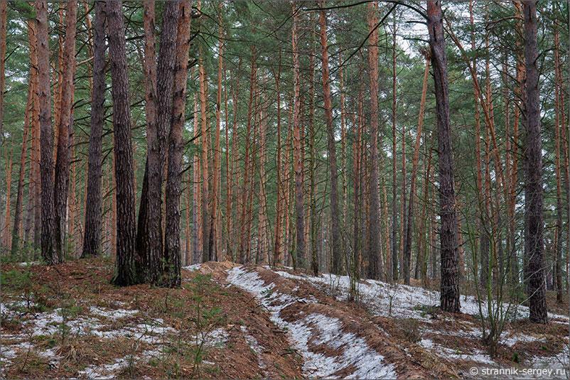 Ока сосновый лес