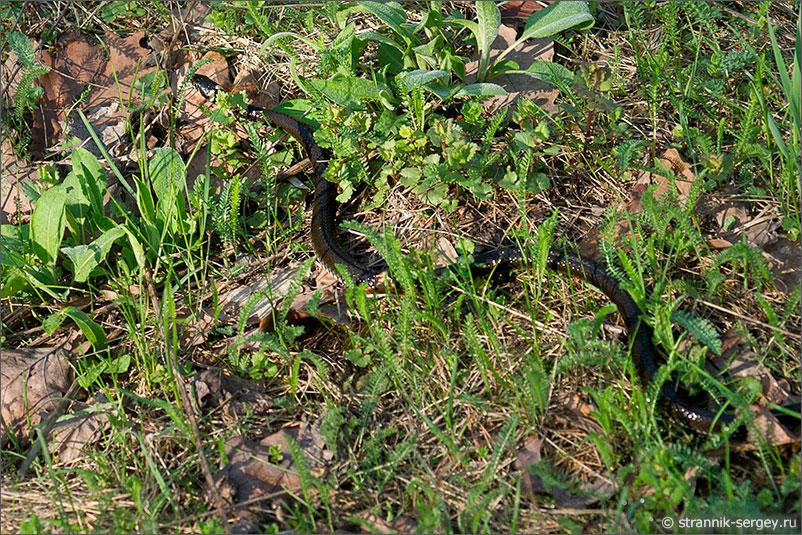 Змея Уж Весна
