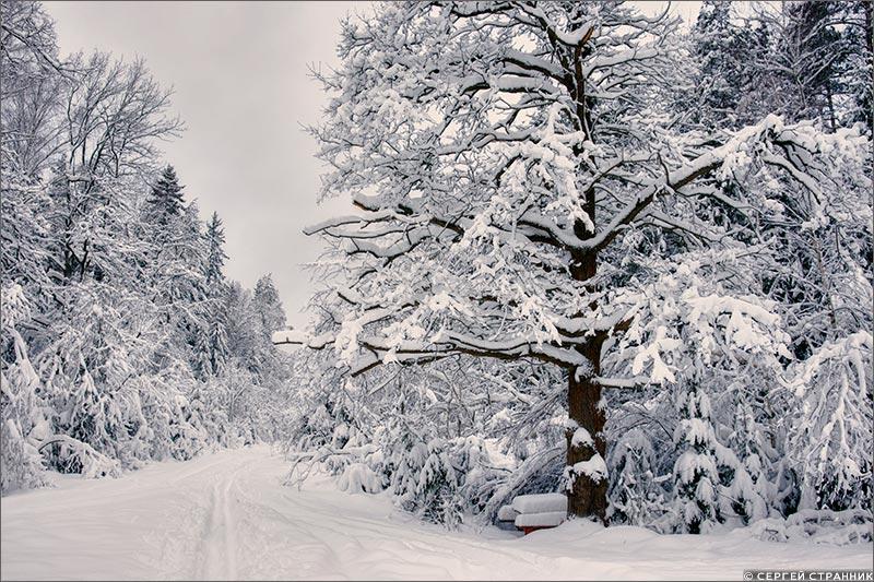 Фото Гжель Дуб в зимнем лесу