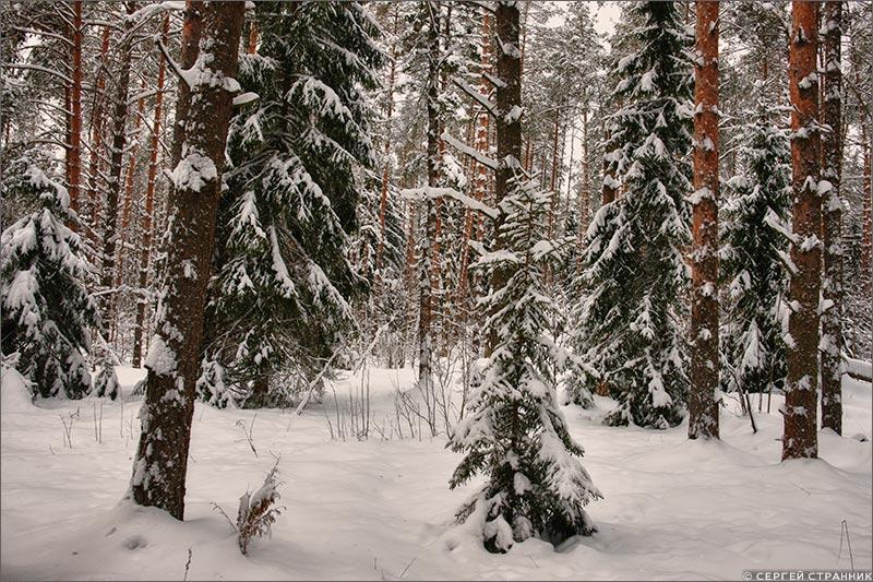 Фото Гжель Сосновый бор зимой