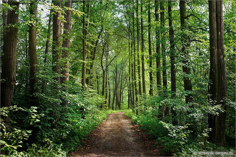 Старинная липовая аллея - липовый лес