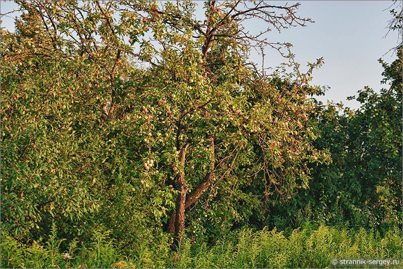 заброшенный яблоневый сад Яблочный Спас