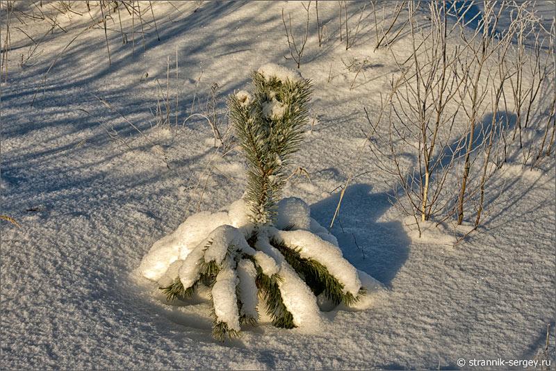 Зима сосенка