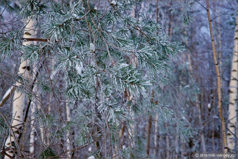 Зима иней на сосновых иглах