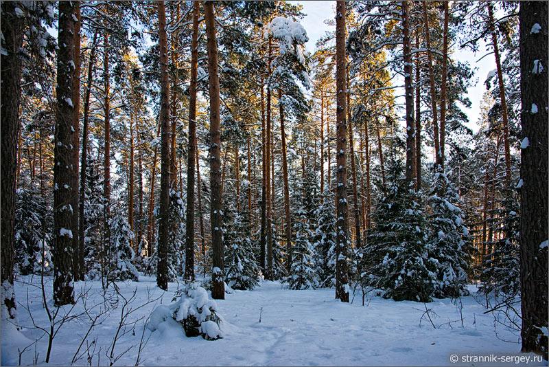 Зима сосны ели лес