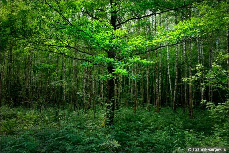 Фото земляники в лесу