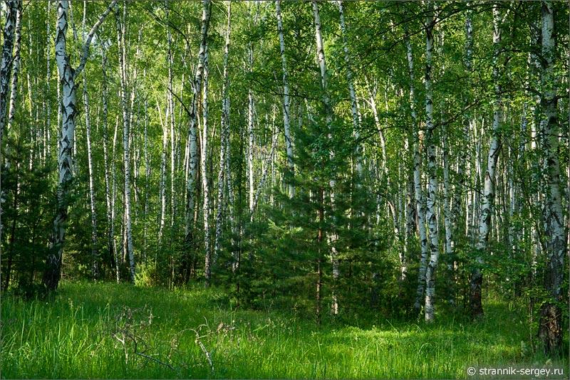 Где в подмосковье есть сосновые леса
