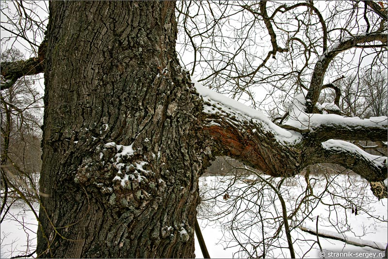 дуб зимой