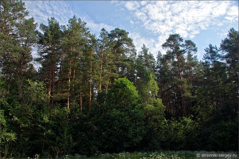 Сосновый бор на берегу реки Протвы