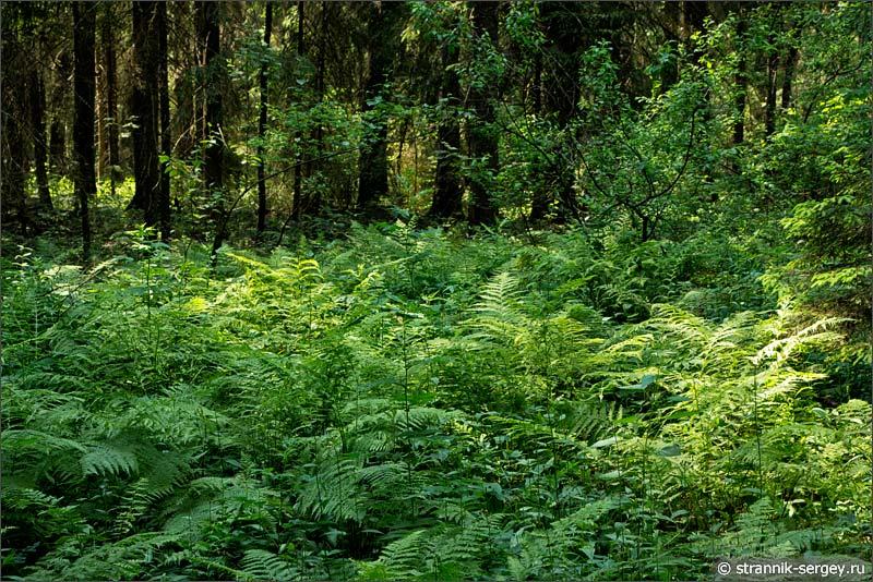 Хвойный лес между Протвой и Исьмой