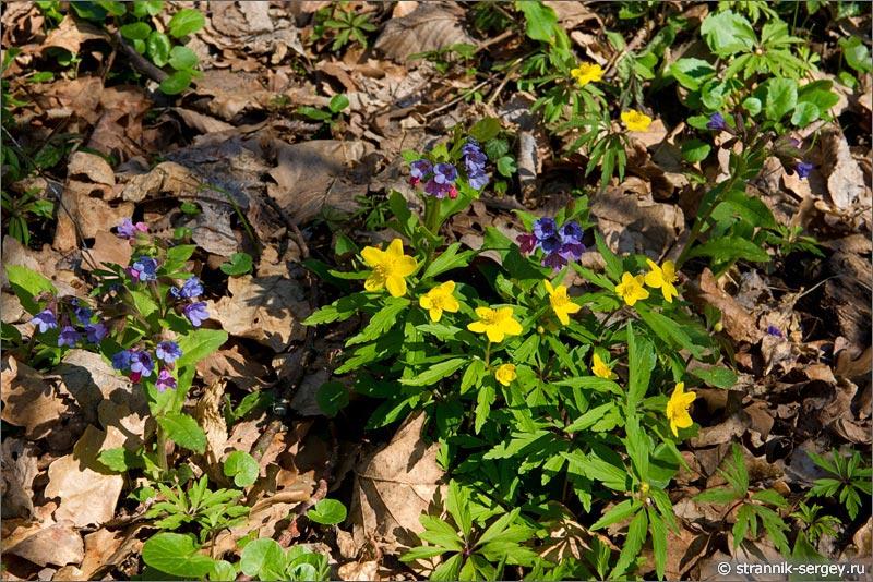 Весна: цветы подснежники в лесу - ветреницы и медуницы