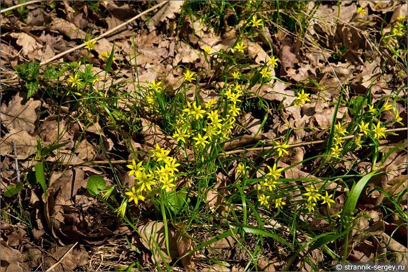 Цветы подснежники - гусиный лук или гусятник (Gagea lutea)