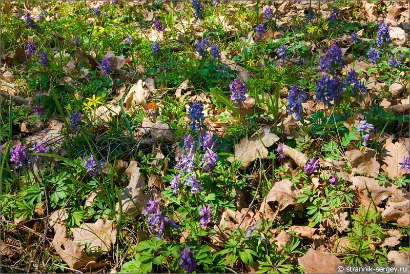 Весна: цветы подснежники в лесу - хохлатки или кокорочки