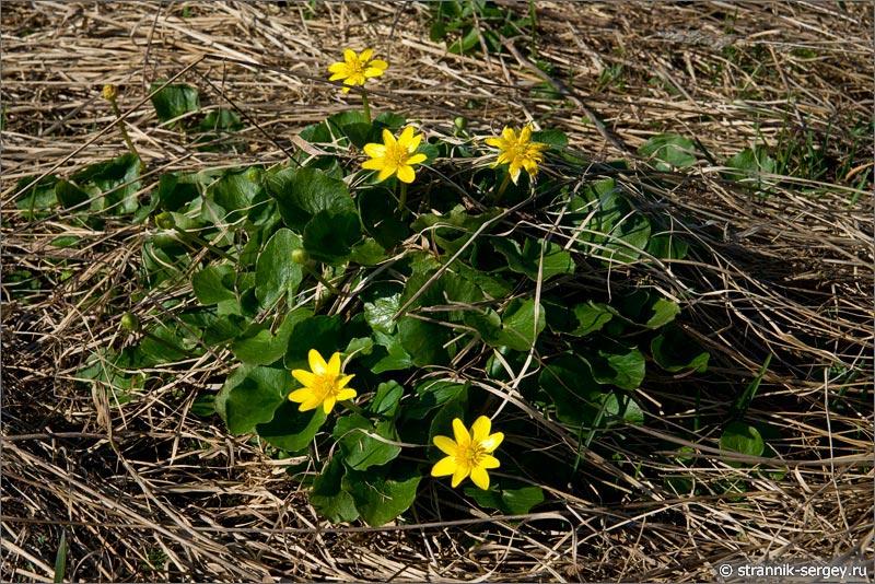 Весна: цветы подснежники в лесу - чистяка весеннего (Ficaria Verna)