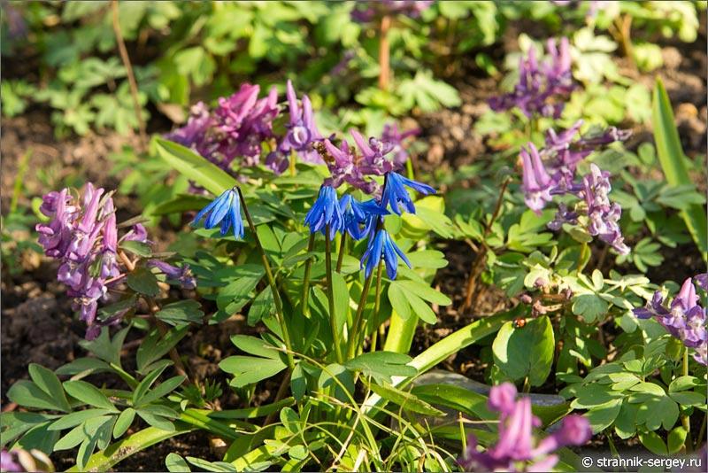 Весна: цветы подснежники в лесу - пролески (Scilla siberica)