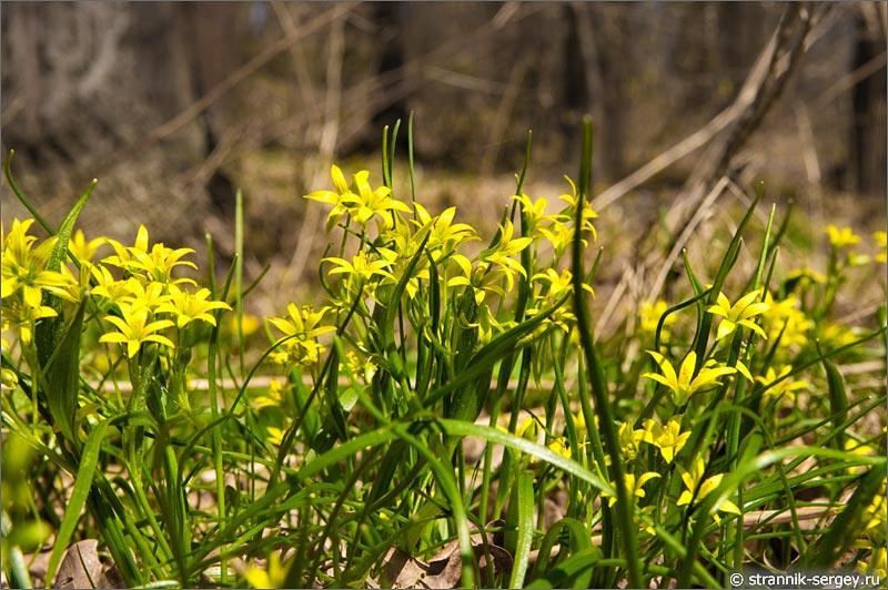 Цветы подснежники весной в лесу - гусиный лук