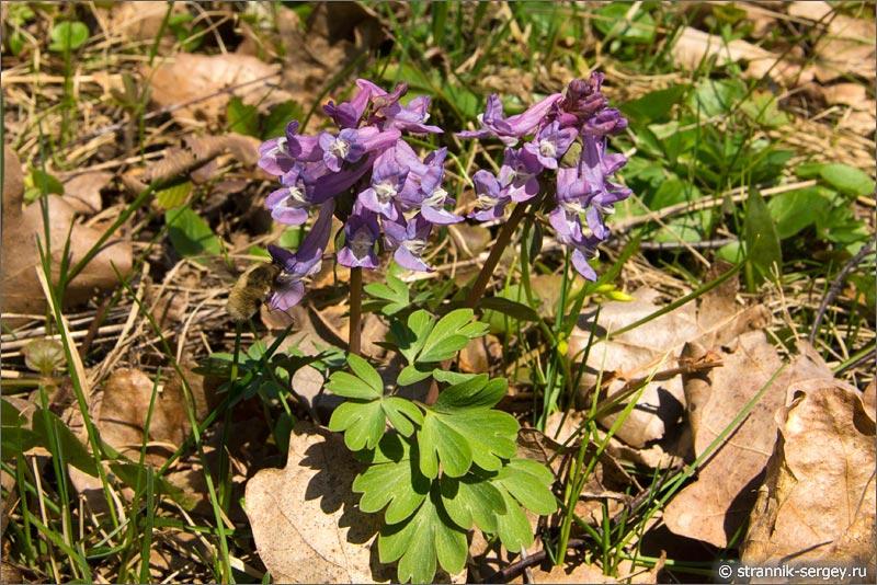 Цветы подснежники - хохлаток средней полосы, хохлаток Галера (Corydalis Halleri)