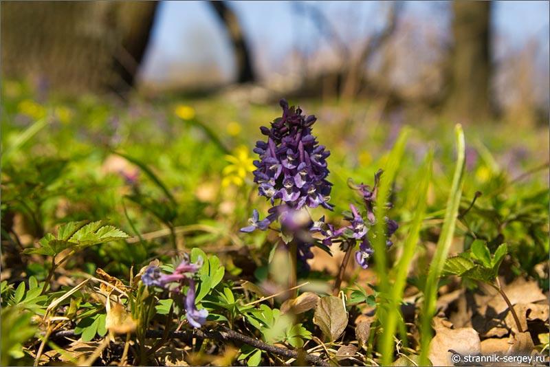 Цветок подснежник в лесу - хохлатка