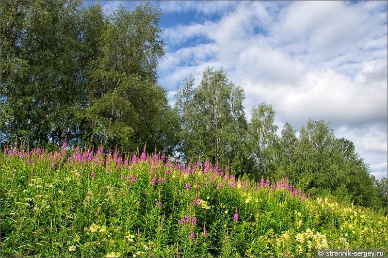 Полевые цветы кипрей таволга