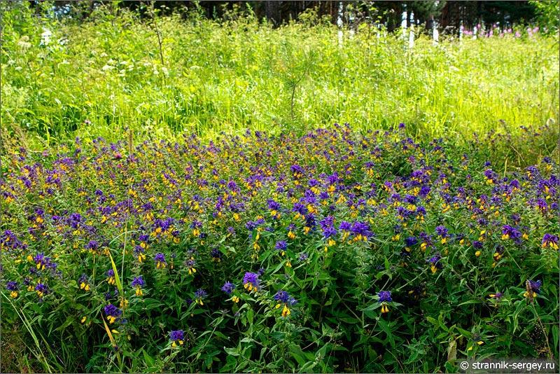 Полевые цветы иван-да-марья марьянник