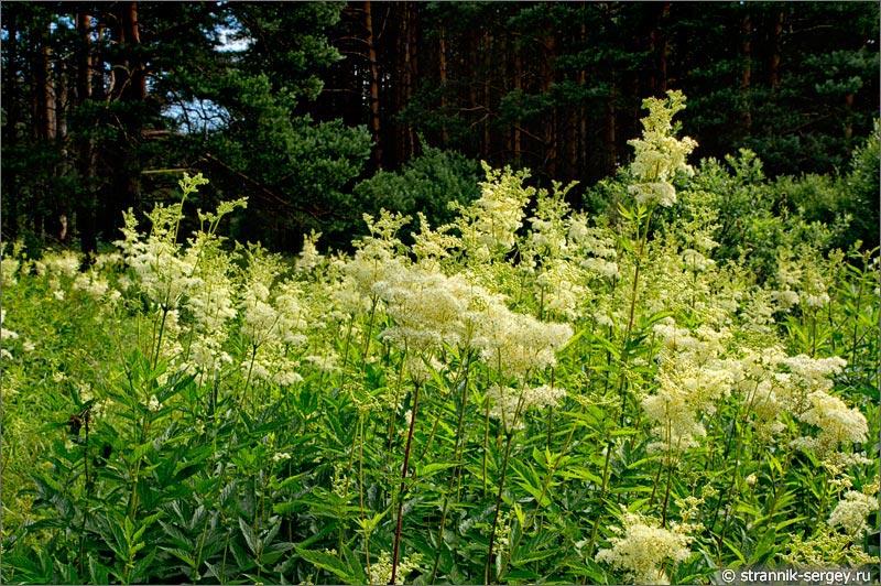 Полевые цветы лесня поляна таволга