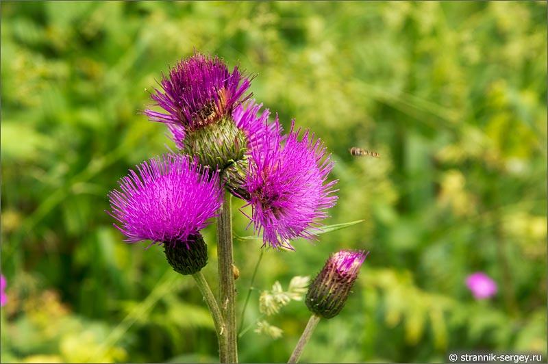 Полевые цветы бодяк