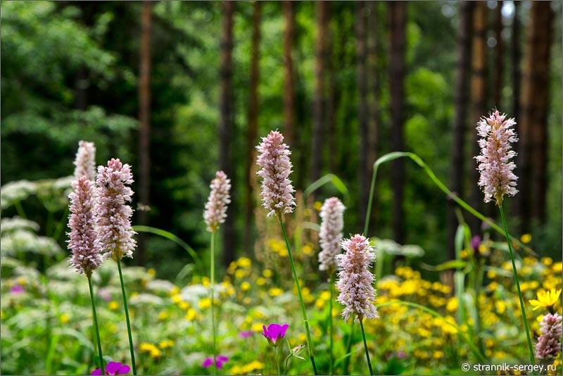 Полевые цветы раковые шейки змеевик большой