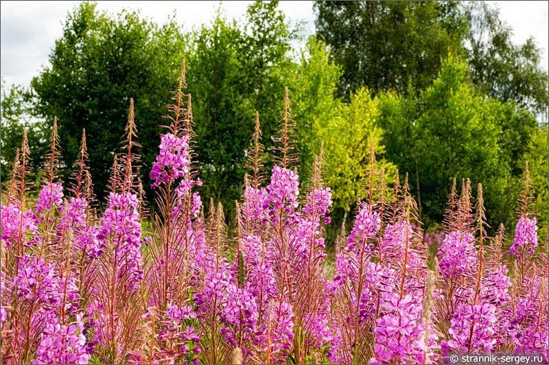 Полевые цветы иван чай кипрей