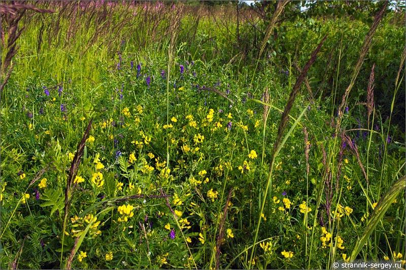 Полевые цветы чина луговая горошек мышиный
