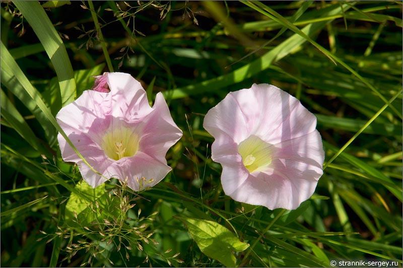 Полевые цветы вьюнки
