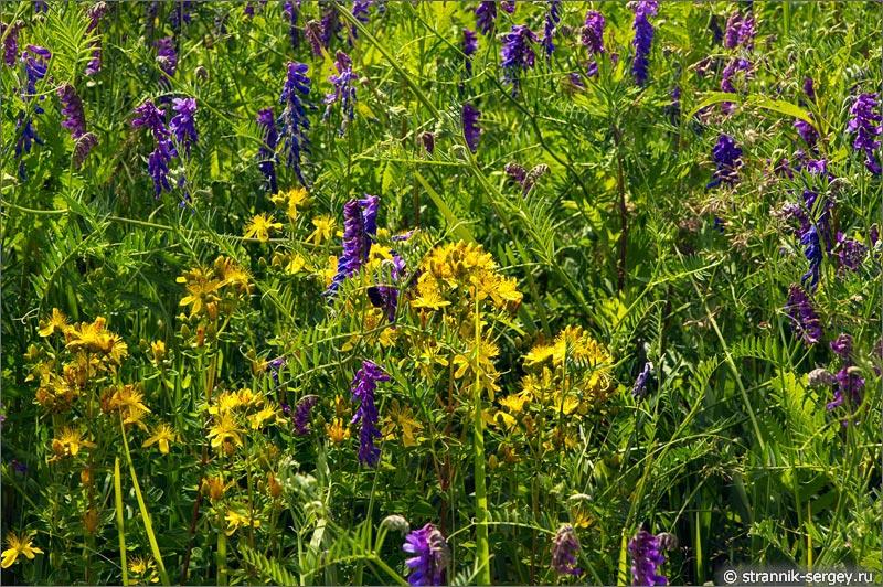 Полевые цветы Зверобой горошек мышиный