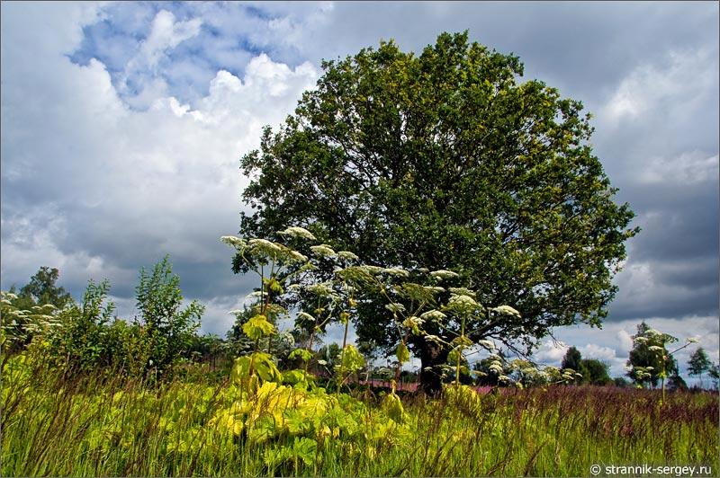 Полевые цветы луга борщевик дуб
