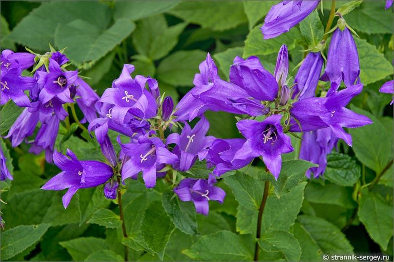 Цветов цветы с фиолетовыми цветами фото лилий стрекозами