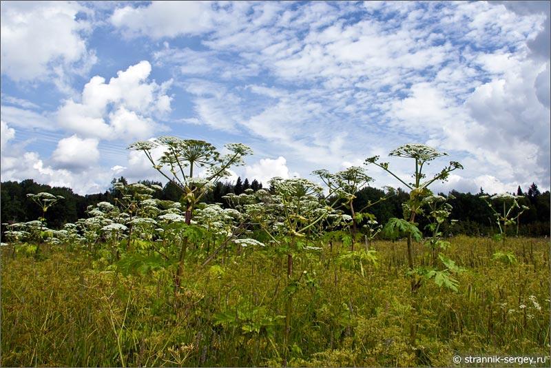 Полевые цветы змеевик