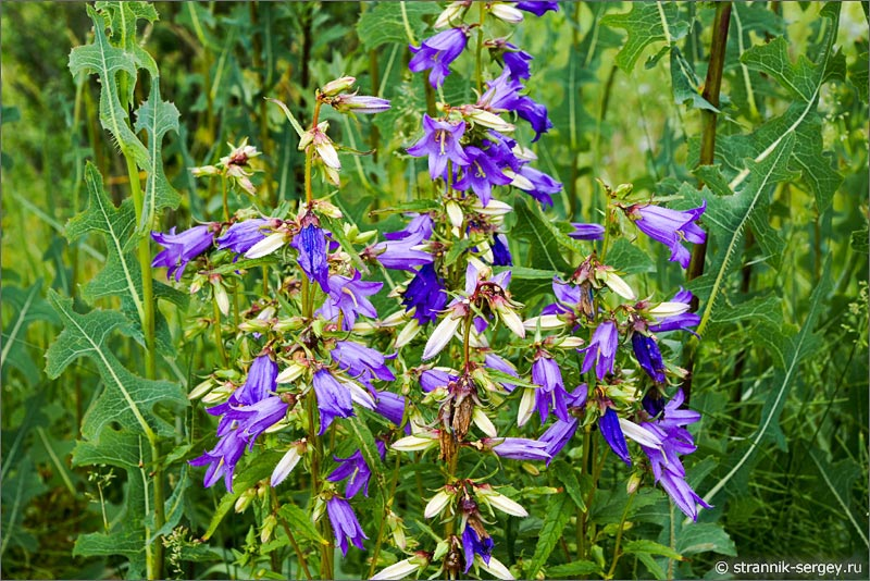 Полевые цветы голубые колокольчики