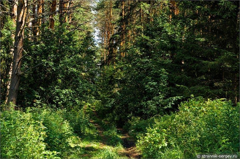 Сосновый лес земляничные поляны