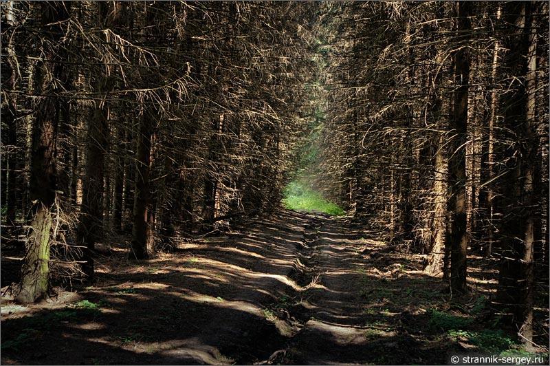 Еловый лес лесная дорога