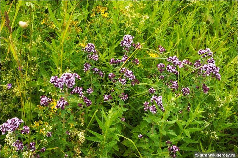 полевые цветы душица лесная мята