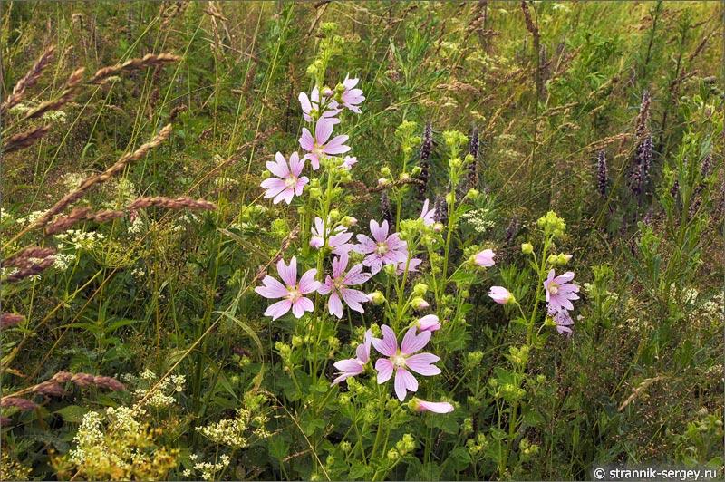 полевые цветы алтей коноплевый