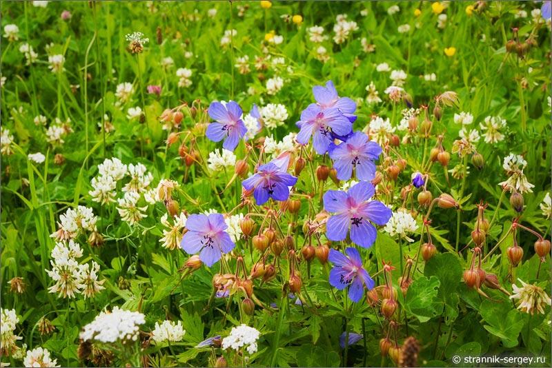 полевые цветы лесная герань белый клевер
