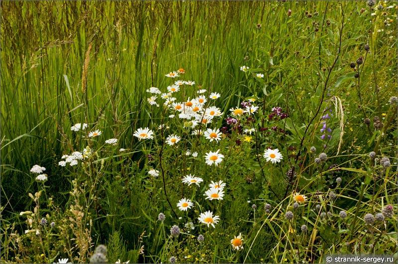 полевые цветы луг разнотравье