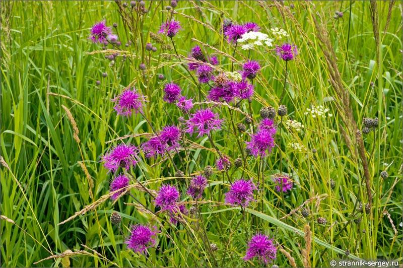 полевые цветы васильки луговые