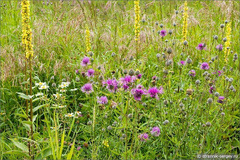 полевые цветы коровяк черный