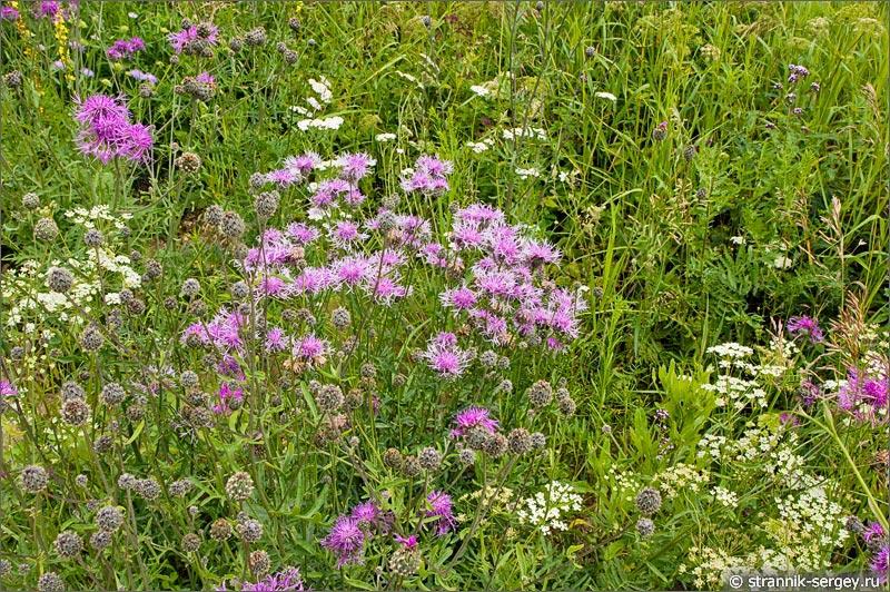 полевые цветы васильки трехжилковые