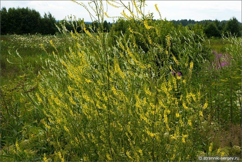 полевые цветы донник желтый и белый