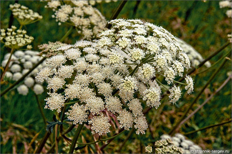 полевые цветы дудник