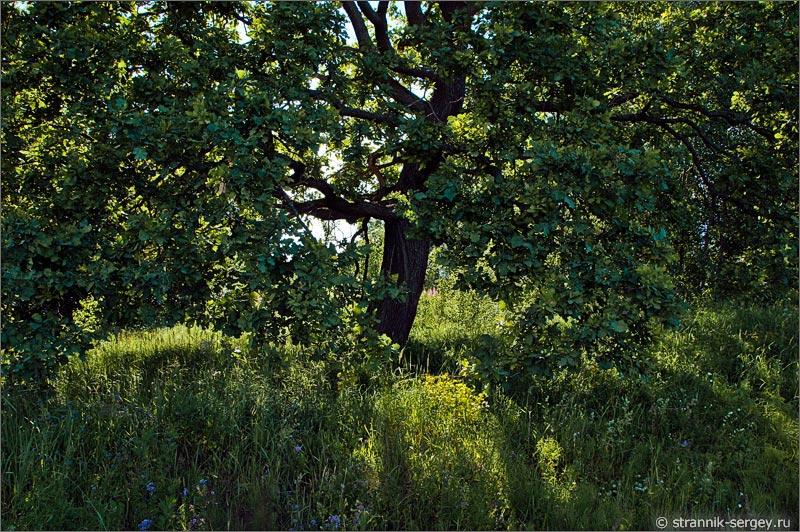 дуб полевые цветы