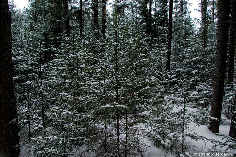 Непроходимый еловый лес